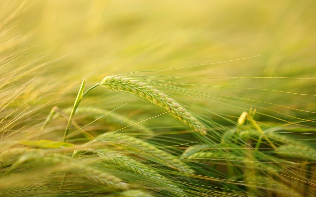 De grootste redenen van toename glutenintoleranties